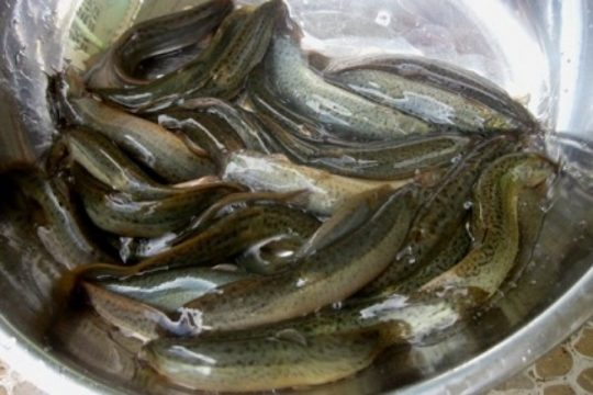 cá chạch chữa xuất tinh sớm