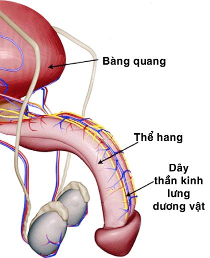 Chữa xuất tinh sớm bằng phẫu thuật dây thần kinh lưng dương vật