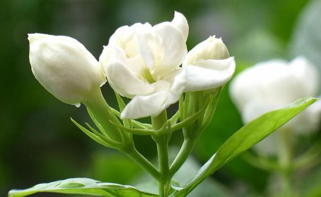 hoa nhài chữa xuất tinh sớm