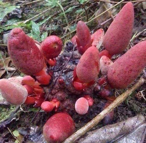 nấm ngọc cẩu có mấy loại